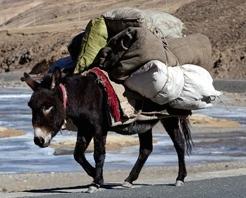 tibet-mount-everest-pack-mule-comp-805